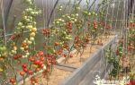 Уродливые помидоры в теплице: почему вытягиваются, квадратные, фото, видео – выращиваем в теплице