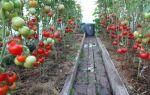 Томат золотое малиновое чудо: выращивание, малины, семена помидоров, серии, отзывы – выращиваем в теплице