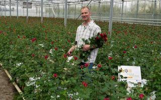 Розы в теплице: виды, выращивание, уход, технология, фото, видео – выращиваем в теплице