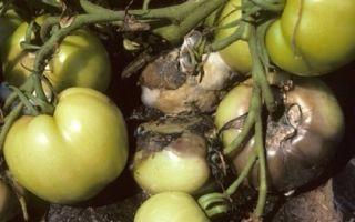 Плесень на помидорах в теплице: причины, первые признаки, как лечить томаты, профилактика, фото, видео – выращиваем в теплице