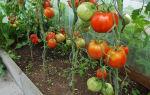 Томат дачник (50 фото): описание, кто сажал, семена уральской селекции, красная гвардия, помидоры премиум класса – выращиваем в теплице