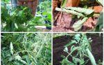 Скручиваются листья у помидоров в теплице: почему и при каких условиях, методы устранения проблемы, фото, видео – выращиваем в теплице