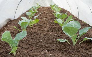 Кольраби – посадка и уход в открытом грунте – выращиваем в теплице