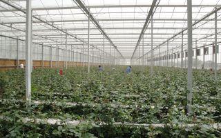 Цветы виолы (анютины глазки): выращивание из семян, посев на рассаду, уход, фото, видео – выращиваем в теплице