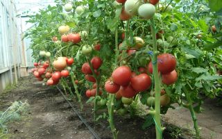 Помидор розовый гигант (35 фото): томат, характеристика, описание, выращивание, сорта, отзывы – выращиваем в теплице