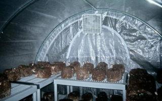 Выращивание вешенки: как вырастить грибы, технология посадки, сбор урожая, фото, видео – выращиваем в теплице