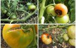 Почему чернеют помидоры в теплице: снизу, полностью, причины, лечение, профилактика, фото, видео – выращиваем в теплице