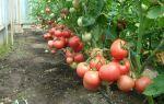 Томат микадо розовый: отзывы, фото помидоров, описание, выращивание, видео – выращиваем в теплице