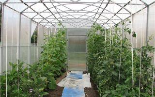 Огурцы и помидоры: можно ли сажать в одной теплице, как вырастить, оптимальная температура, другие параметры, фото, видео – выращиваем в теплице