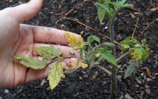 У помидоров фиолетовые листья: что это, когда и почему происходит, что делать, фото, видео – выращиваем в теплице
