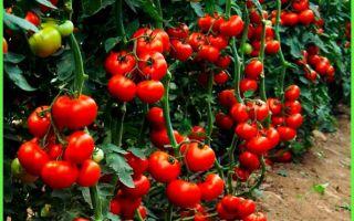 Томат красным красно: фото, описание сорта, отзывы, выращивание из семян, пасынкование, видео – выращиваем в теплице