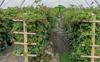 Ежевика – посадка и уход за разными сортами в открытом грунте – выращиваем в теплице