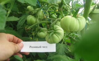Томат розовый мед (55 фото): характеристика и описание сорта, отзывы о помидорах, видео – выращиваем в теплице