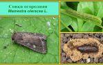 Огородная совка: как избавиться от вредителей в теплице, фото, видео – выращиваем в теплице
