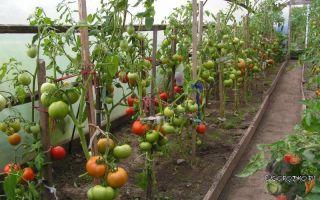 Подвязка помидоров в теплице из поликарбоната: видео, как и чем правильно подвязать, варианты, фото – выращиваем в теплице