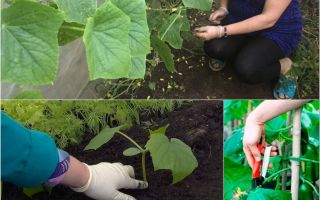 Можно ли обрезать листья у огурцов в теплице: зачем и когда это нужно, как и когда правильно, схема обрезки, фото, видео – выращиваем в теплице