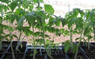 Чем полить рассаду помидоров, чтобы не вытягивалась, почему возникла проблема, как исправить, что делать, чем подкормить, фото, видео – выращиваем в теплице