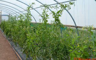 Промышленное выращивание томатов в теплице: рентабельность бизнеса, технология, фото, видео – выращиваем в теплице