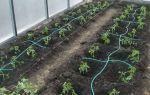 Томат космонавт волков (50 фото): характеристика и описание сорта, как посадить помидоры, отзывы, видео – выращиваем в теплице