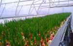 Томат клуша (50 фото): описание, урожайность помидор, в ведре, супер куст, отзывы – выращиваем в теплице