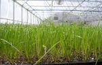 Зеленый лук: выращивание в теплице, на подоконнике, выбор сорта, – выращиваем в теплице