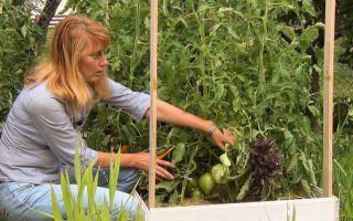 Цветение помидор в теплице: как поливать, подкармливать и пасынковать, фото, видео – выращиваем в теплице
