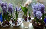 Зацвел гиацинт: сколько раз, что делать, когда не цветет, фото, видео – выращиваем в теплице