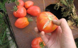 Почему трескаются помидоры: растрескиваются, лопается, зеленые, томат – выращиваем в теплице