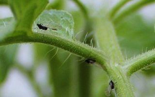 Мошки на помидорах: белые, черные, как бороться, чем побрызгать на рассаду, как избавиться, фото, видео – выращиваем в теплице