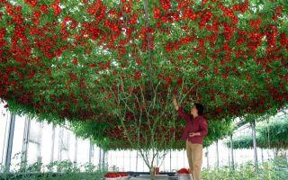 Томат спрут f1: отзывы, фото, как выращивать помидоры в открытом грунте, технология и секреты по уходу за деревом, видео – выращиваем в теплице