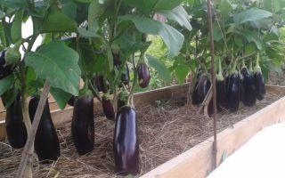 Перец и баклажаны в одной теплице: правила посадки и выращивания, фото, видео – выращиваем в теплице