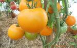Томат хурма характеристика и описание сорта, фото помидоров, видео, отзывы, выращивание – выращиваем в теплице