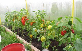 Перец в теплице из поликарбоната: выращивание, уход, посадка, фото, видео – выращиваем в теплице