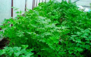 Петрушка: кудрявая, корневая, посадка и уход, выращивание на подоконнике в домашних условиях, в теплице, фото, видео – выращиваем в теплице