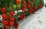 Помидоры для урала в теплице: сорта томатов, рекомендации по выращиванию, фото, видео – выращиваем в теплице