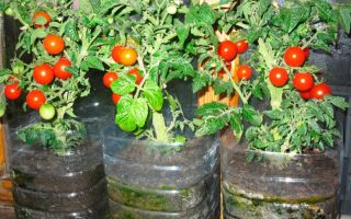 Как вырастить помидоры черри в домашних условиях: на балконе, подоконнике, посадка и уход, фото, видео – выращиваем в теплице