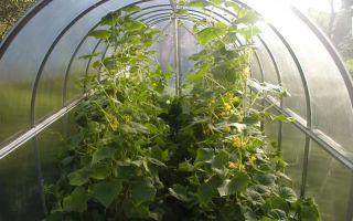 Подкормка рассады помидоров после пикировки: чем и когда подкармливать, как удобрять эпином, золой, органическими, минеральными удобрениями, фото, видео – выращиваем в теплице