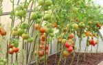Самые вкусные и урожайные зеленые помидоры: сорта, фото, отзывы, видео – выращиваем в теплице