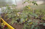 Почему не цветут помидоры: причины, что делать, фото, видео – выращиваем в теплице