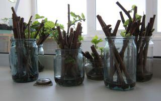 Размножение винограда черенками: как посадить, выращивать, когда заготавливать, хранение, проращивание, видео, фото – выращиваем в теплице