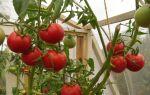 Урожайные томаты (50 фото): какие самые высокоурожайные сорта, вологодский помидор, семена уральской селекции, описание, отзывы – выращиваем в теплице