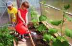 Томат новичок розовый (25 фото): описание сорта, характеристики, сажал, помидор, отзывы – выращиваем в теплице