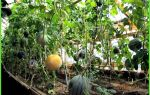 Арбузы в сибири: выращивание в теплице, посадка и уход, рядом с дынями, фото, видео – выращиваем в теплице