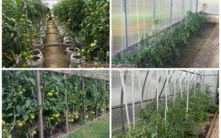Посадка томатов в теплице: расстояние между кустами, схема, сроки, фото, видео – выращиваем в теплице