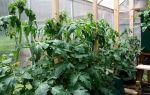 Что делать если жируют помидоры: если томаты в теплице, описание, видео – выращиваем в теплице