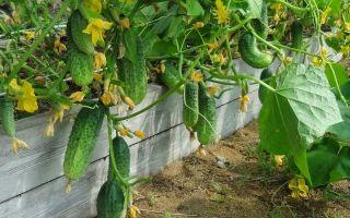 Огурцы в теплице: как продлить плодоношение, ускорить созревание, период вегетации, – выращиваем в теплице