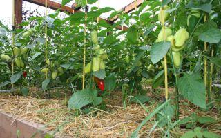 Перец – выращиваем в теплице