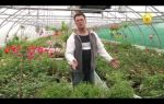 Плетистая роза: посадка, уход, выращивание, фото, видео – выращиваем в теплице