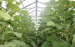 Вянут огурцы в теплице: почему так происходит, что делать, фото, видео – выращиваем в теплице