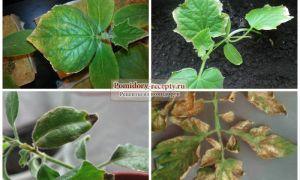 Сохнут листья томатов: что делать, почему так происходит, фото, видео – выращиваем в теплице